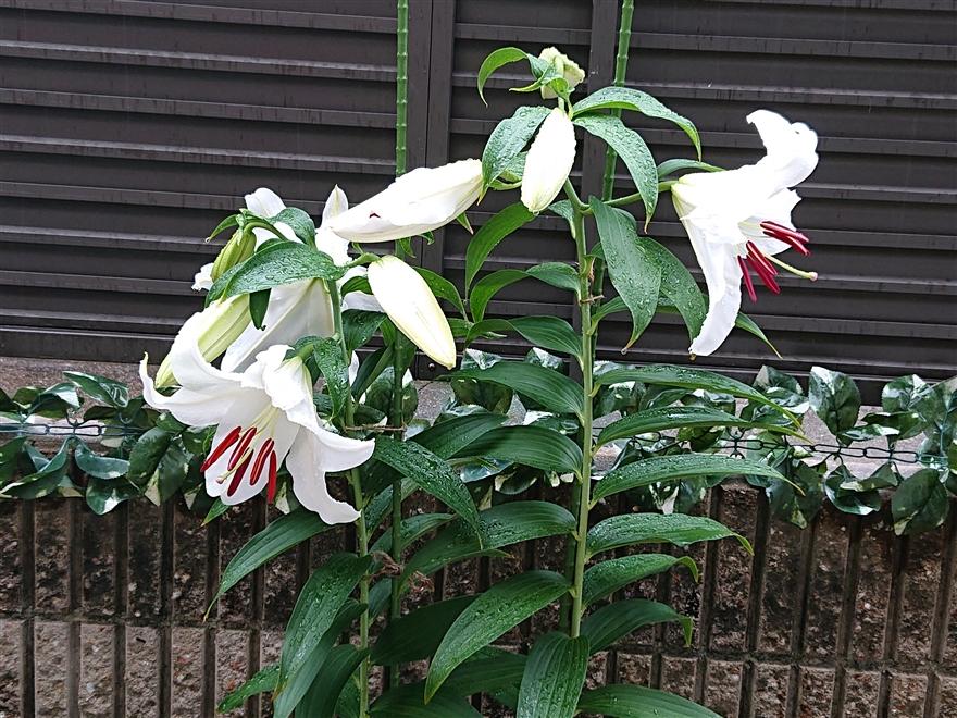 カサブランカの開花