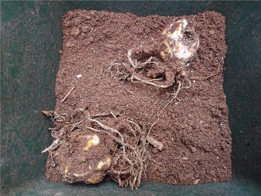 カサブランカの球根植え付け